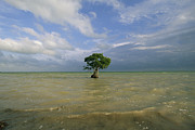 Mangrove Trees Photos - A Lone Mangrove Tree Standing by Skip Brown
