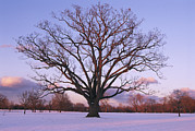Snow Scenes Prints - A Lone Oak Tree In Delaware Park Print by Melissa Farlow