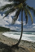 Atlantic Beaches Metal Prints - A Lone Palm Tree Grows From The Rocky Metal Print by Michael Melford