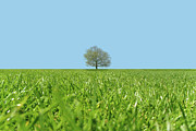 Focus On Background Prints - A Lone Tree In A Field Print by Richard Newstead