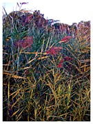 North Fork Framed Prints - A Long Island saltwater grass in bloom Framed Print by Frank Wickham