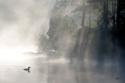 Morning Mist Prints - A Loon In The Mist Print by Brian Pelkey