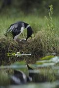 A Loon Raises Itself To Turn Its Eggs Print by Michael S. Quinton
