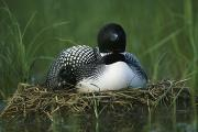 Juvenile Birds Posters - A Loon Shelters A Chick Under Its Wing Poster by Michael S. Quinton