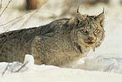 Lynxes Photos - A Lynx Observes Its Prey by Paul Nicklen