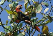 Macaws Posters - A Macaw Perches In A Tree Poster by Steve Winter