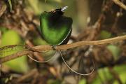 A Magnificent Bird Of Paradise Male Print by Tim Laman