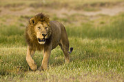 Urban Scenes Prints - A Male African Lion Looks Print by Ralph Lee Hopkins