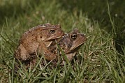 Toads Framed Prints - A Male And A Female American Toad Framed Print by Brian Gordon Green