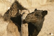 Camel Photos - A Male And Female Camel Nuzzle Each by Carsten Peter