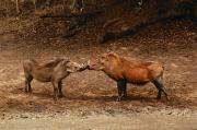 South Africa Prints - A Male And Female Warthog Kiss Noses Print by Nicole Duplaix