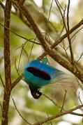 Southern Province Framed Prints - A Male Blue Bird Of Paradise Performing Framed Print by Tim Laman