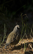 Quail Photos - A Male California Quail Stands by Taylor S. Kennedy