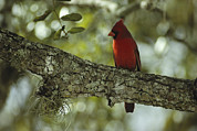 Finches Posters - A Male Cardinal Perches On A Tree Poster by Klaus Nigge