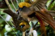Mating Animals Photos - A Male Goldies Bird Of Paradise Mates by Tim Laman