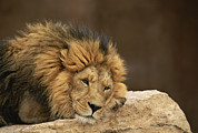 Roosting And Resting Posters - A Male Lion Rests Upon A Rock Poster by Norbert Rosing