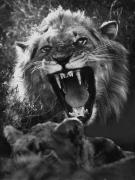 Frightening Posters - A Male Lion Roars Over His Mate Poster by Dick Wolff