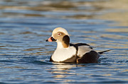Kodiak Prints - A Male Long-Tailed Duck Print by Tim Grams