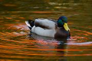 A Male Mallard Duck Drinking.  Fall Print by Darlyne A. Murawski