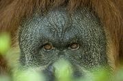 Sedgwick County Zoo Framed Prints - A Male Orangutan At The Sedgwick County Framed Print by Joel Sartore
