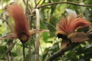 Birds Of Paradise Prints - A Male Pair Of Displaying Goldies Birds Print by Tim Laman