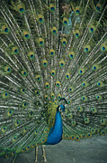 Animal Behavior Art - A Male Peacock Spreads His Beautiful by David Evans