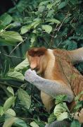 East Malaysia Framed Prints - A Male Proboscis Monkey Feeds On Leaves Framed Print by Tim Laman