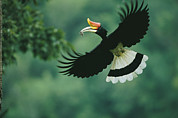 A Male Rhinoceros Hornbill Delivers Print by Tim Laman