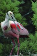 Breeding Posters - A Male Roseate Spoonbill Is In Breeding Poster by Joel Sartore
