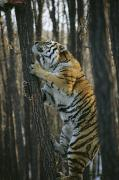 Wildcats Prints - A Male Siberian Tiger Scales A Tree Print by Marc Moritsch