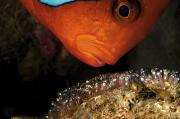 Development Of Life Photos - A Male Tomato Clownfish Tends by David Doubilet