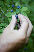 British Columbia Posters - A Man Picks Blueberries Along A Trail Poster by Taylor S. Kennedy