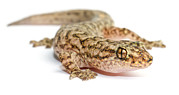 Christinus Mamoratus Framed Prints - A Marble Gecko Sits In Studio Striking Framed Print by Brooke Whatnall