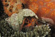 Caroline Islands Prints - A Marine Hermit Crab Walks Past A Soft Print by Tim Laman