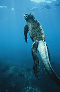Galapagos Islands Posters - A Marine Iguana Swims Underwater Poster by Nick Caloyianis