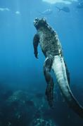 A Marine Iguana Swims Underwater Print by Nick Caloyianis