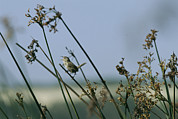 Wrens Prints - A Marsh Wren Perched On A Tall Grass Print by Marc Moritsch