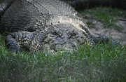 Perth Zoo Prints - A Massive Saltwater Crocodile Waits Print by Jason Edwards
