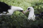Mating Animals Photos - A Mating Pair Of Albatrosses Diomedea by William Allen