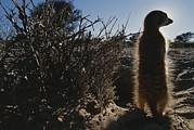 South Africa Prints - A Meerkat Suricata Suricatta Stands Print by Mattias Klum