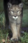 Eye Contact Photos - A Mesmerising Glare Of A Stalking Puma by Jason Edwards