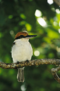 Caroline Islands Prints - A Micronesian Kingfisher Perched Print by Tim Laman