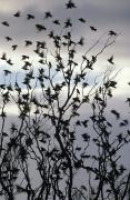 Starlings Metal Prints - A Migrating Common Starling Flock Metal Print by Jason Edwards