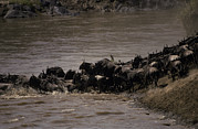 Masai Mara Prints - A Migrating Wildebeeste Herd Stampedes Print by Jason Edwards
