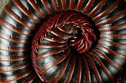 Curled Up Posters - A Millipede Curled Into A Spiral Poster by George Grall