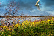 Shorebirds Prints - A Moment In Time In The Journey of The Great White Egret . 7D12643 Print by Wingsdomain Art and Photography