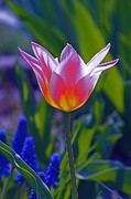Backlit Tulip Photos - A Moment Of Illumination by Byron Varvarigos