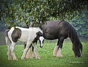 Gypsy Cob Framed Prints - A Momma and Her Foal Framed Print by Terry Kirkland Cook