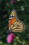 Thistle Framed Prints - A Monarch Butterfly Sits On A Thistle Framed Print by George Grall