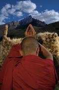 Buddhist Clergy Framed Prints - A Monk Prays For An End To Snow Leopard Framed Print by Steve Winter